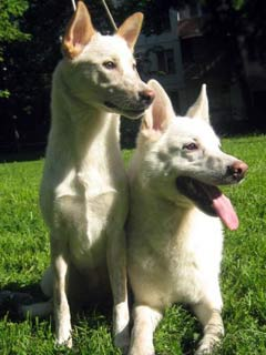 Canaan Dog. The kennel SAMORODOK HANAANA